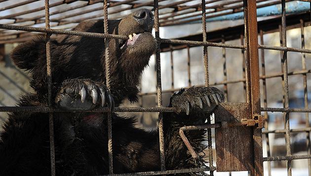 Neues Schutzzentrum für ukrainische Kampfbären (Bild: Vier Pfoten)