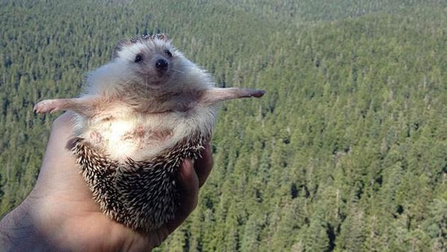 """Das ist """"Biddy"""", der reiselustigste Igel der Welt (Bild: imgur/kamil1308)"""