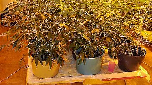 Cannabis-Züchter in Wien-Neubau aufgeflogen (Bild: APA/POLIZEI/UNBEKANNT)