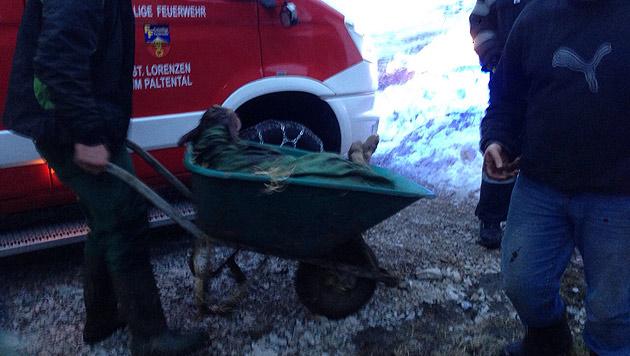 Mittels einer Scheibtruhe wurde das Kalb wieder zum Muttertier transportiert. (Bild: Walter Danklmaier)