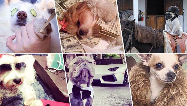Hunde mit Luxusleben sind der neue Hit im Netz (Bild: Rich dogs of Instagram)