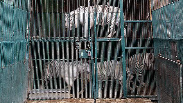 """Die Tiger im Zoo """"Los Animalitos"""" lebten übereinander. (Bild: AP)"""
