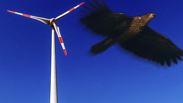 Seltener Seeadler flog gegen Windrad - verendet (Bild: APA/Patrick Pleul, thinkstockphotos.de (Symbolbild))