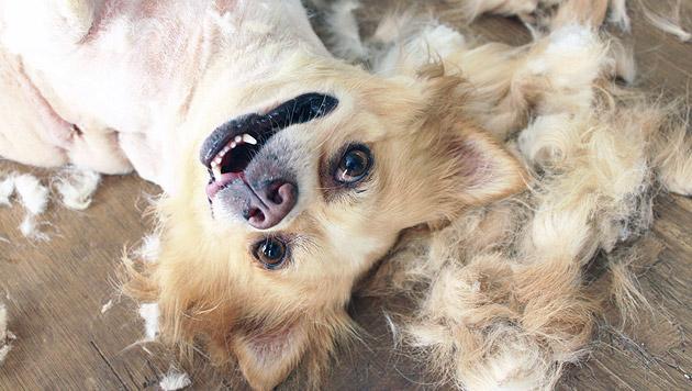 So unterstützen Sie den Fellwechsel Ihres Tieres (Bild: thinkstockphotos.de)