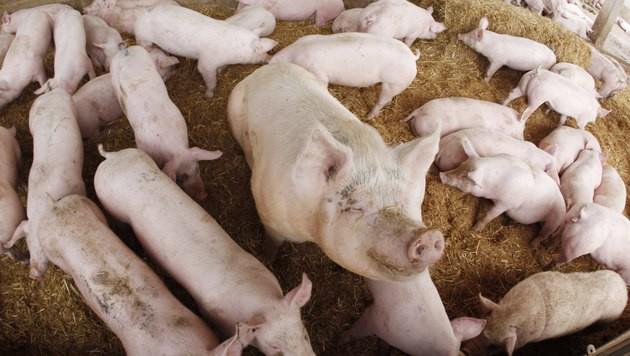 30 Schweine verendet: Rattengift im Mageninhalt (Bild: Sepp Pail)