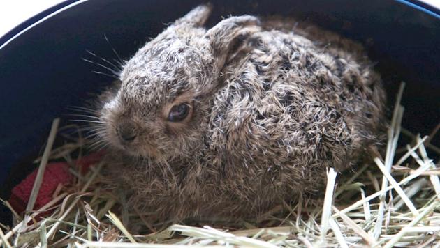 Ein Feldhasenbaby - dieses wurde von der Pfotenhilfe Lochen gerade noch gerettet. (Bild: Pfotenhilfe (Symbolbild))
