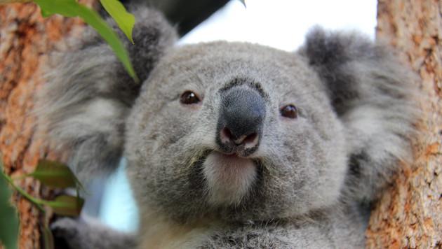 Australien ließ heimlich Hunderte Koalas töten (Bild: APA/EPA/TARONGA CONSERVATION SOCIETY AUSTRALIA)