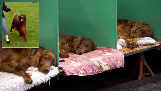 Jagger (kl. Bild) wurde vergiftet. In solchen Boxen schliefen die zum Verwechseln ähnlichen Hunde. (Bild: YouTube.com/alekslauwers, AFP)