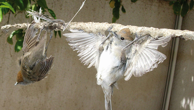 Malteser stimmten für Beibehaltung der Vogeljagd (Bild: Birdlife (Symbolbild))