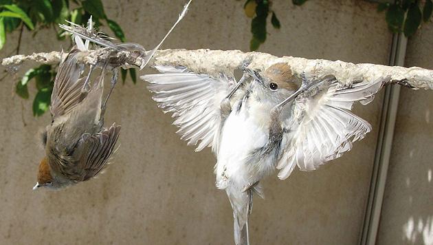 Millionen Zugvögel auf Zypern zum Verzehr gefangen (Bild: Birdlife (Symbolbild))