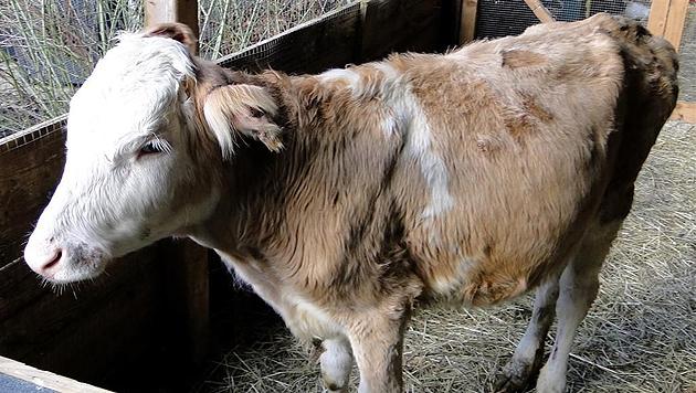 """Kalb """"Rosi"""" blieb klein, erregte damit Mitleid des Bauern. Und darf jetzt in Sicherheit leben. (Bild: Purzel & Vicky)"""