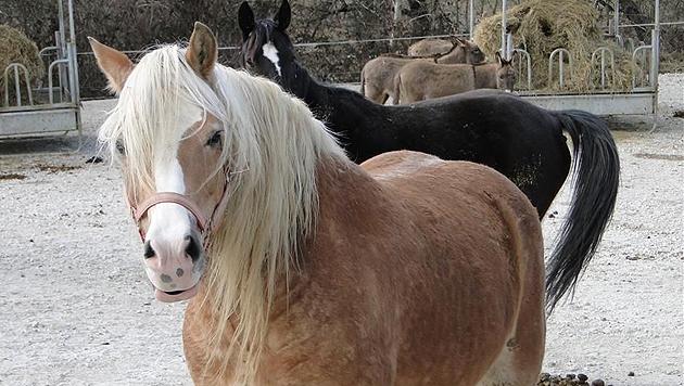 """""""Pia"""" hat viel erleiden müssen: Die schwer lungenkranke Stute kannte nicht einmal andere Pferde! (Bild: Purzel & Vicky)"""