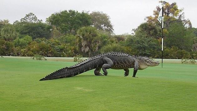 Er kam, sah, und verbreitete überhaupt keinen Schrecken. (Bild: Facebook.com/Myakka Pines Golf Club)