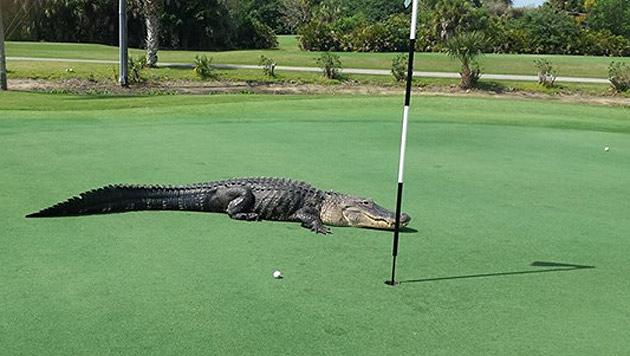 Achtung, Alligator am Green! In Florida ist das aber keine Seltenheit. (Bild: Facebook.com/Myakka Pines Golf Club)