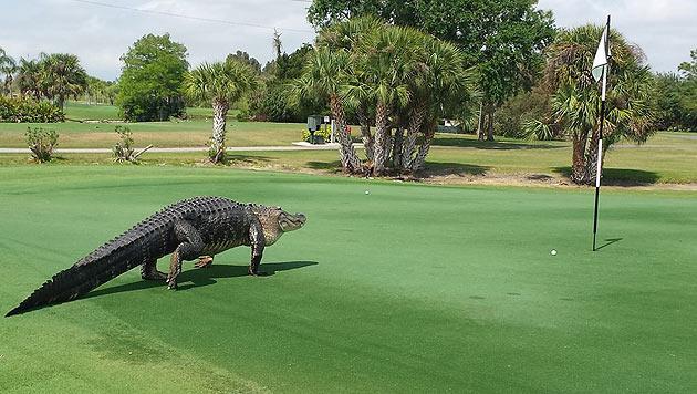 Nach seinem Auftritt sucht man noch nach einem Namen für den Alligator. (Bild: Facebook.com/Myakka Pines Golf Club)