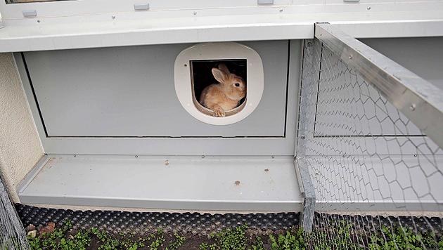 Die Kleintiere dürfen selbstständig entscheiden, wann sie ins Freie wollen. (Bild: Klemens Groh)