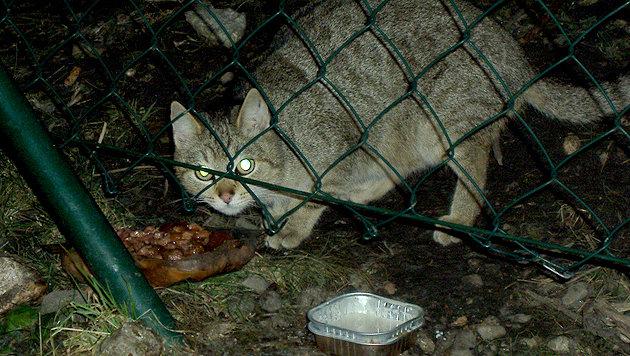Viele Streunerkatzen wohnen auf der Baustelle vom Fischapark. (Bild: Sabine Piribauer)