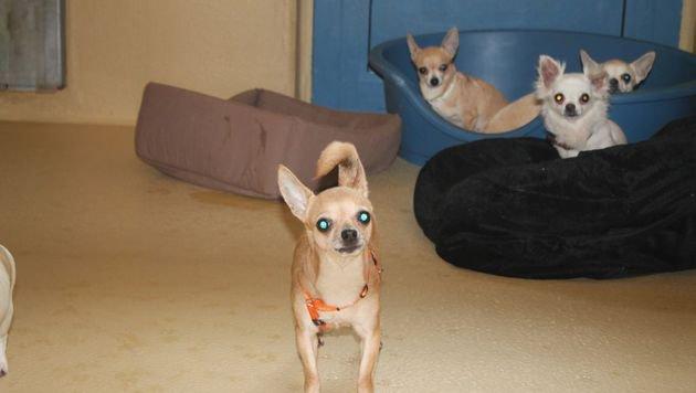Zehn verwahrloste Chihuahuas im WTV abgegeben (Bild: WTV)