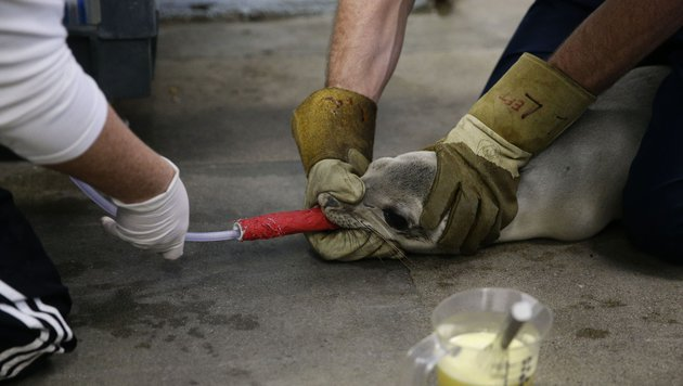 Schon Hunderte Seelöwen in Kalifornien gestrandet (Bild: AP)