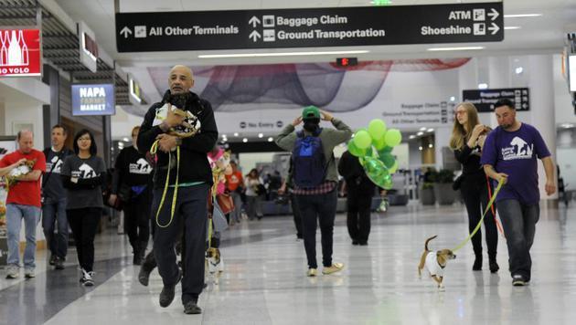 Freiwillige brachten die Chihuahuas zum richtigen Gate. (Bild: Bob Riha Jr.)