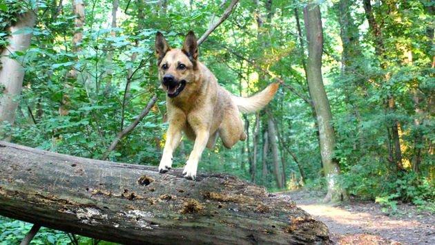 Wenn der Jagdtrieb für Hunde zur Gefahr wird (Bild: Vier Pfoten/Vivian Tan)