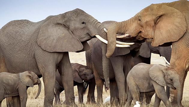 Elefanten machen wegen Wilderern Nacht zum Tag (Bild: EPA/Dai Kurokawa/picturedesk.com (Archivbild))