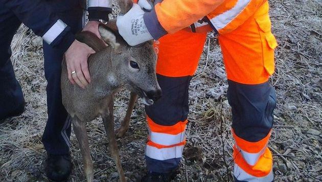 Der von der Autobahn gerettete Rehbock (Bild: Asfinag)