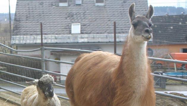 """Lama """"Herr Karl"""" hat seine Gefährtin verloren und lebt nun glücklich unter Schafen und Ziegen. (Bild: Claudia Fischer)"""