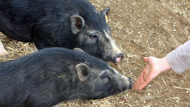 Diese Mini-Schweine wurden in einem finsteren Keller gehalten und sind jetzt fast blind. (Bild: Claudia Fischer)