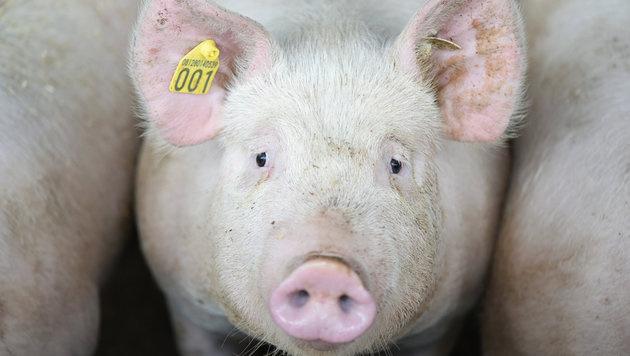 200 Mastschweine in Stall qualvoll erstickt (Bild: APA/dpa/Uwe Anspach (Symbolbild))