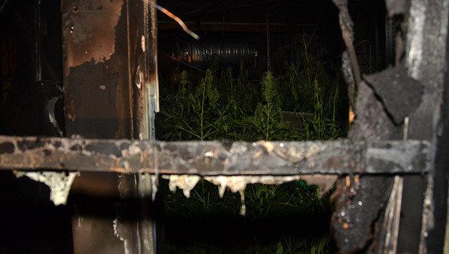 Im Zuge der Löscharbeiten stießen die Helfer auf eine rund 200 Quadratmeter große Hanfplantage. (Bild: MA 68 Lichtbildstelle)