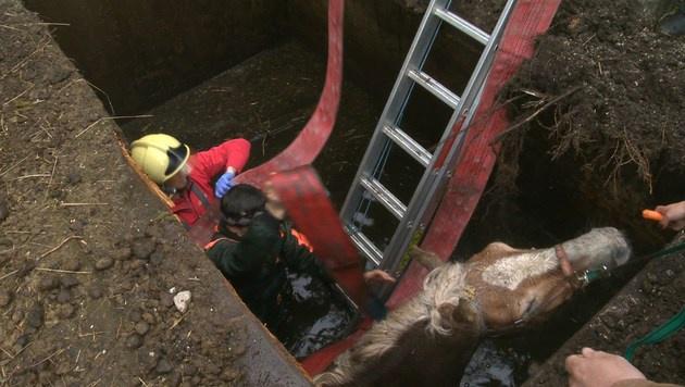 Feuerwehr rettete Haflinger aus Jauchengrube (Bild: BFV LIEZEN/Schlüßlmayr)