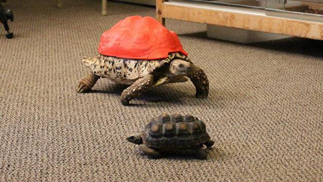 Mit dem Plastikschutz ist nun Kontakt zu anderen Schildkröten möglich. Vorher war das zu gefährlich. (Bild: facebook.com/coloradotech)