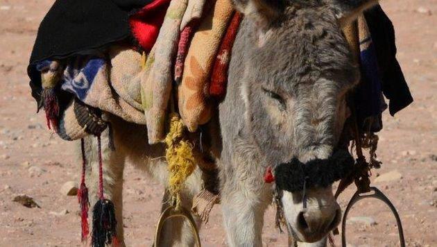 """""""Vier Pfoten"""" leisten Hilfe für Esel und Pferde (Bild: Vier Pfoten/Abo Inshad)"""