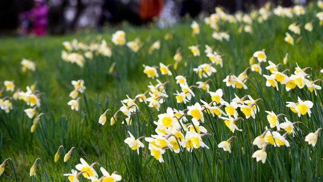 Am Mittwoch kehrt der Frühling zurück (Bild: APA/dpa/Maurizio Gambarini)