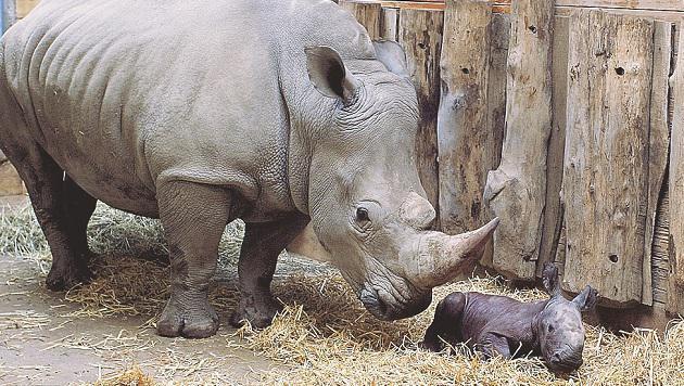 """""""Tamu"""" und ihr """"Hörnchen"""". Beide sind gesund, der kleine Bulle wiegt jetzt schon 50 Kilogramm. (Bild: Zoo Salzburg)"""