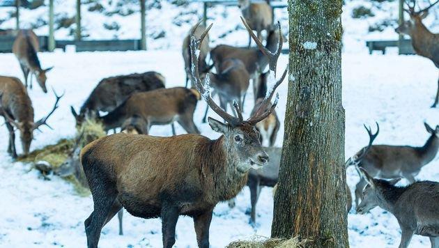 Wildkorridore in Salzburg weiter ein Streitthema (Bild: Nationalpark Gesäuse/Hollinger (Symbolbild))