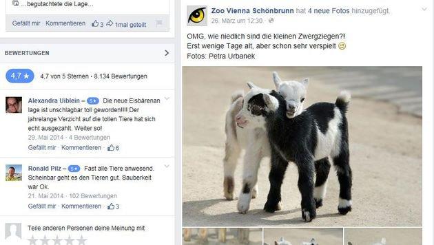 So süß! Die Baby-Zwergziegen im Tiergarten Schönbrunn (Bild: Facebook.com/Zoo Vienna Schönbrunn)
