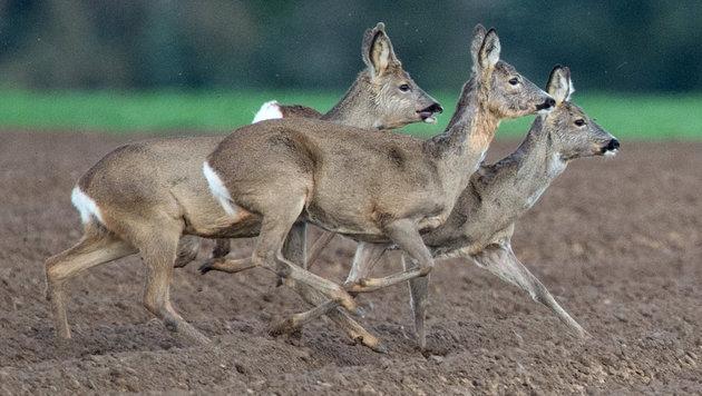 Wildunfälle: Gefährliche Strecken im Fokus (Bild: APA/dpa/Boris Roessler (Symbolbild))