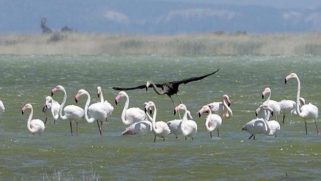 Gänzlich schwarzer Flamingo auf Zypern gesichtet (Bild: AP)