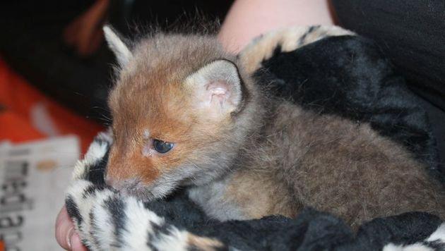 """Baby-Fuchs """"Jule"""" wird vom WTV aufgepäppelt (Bild: Wiener Tierschutzverein)"""