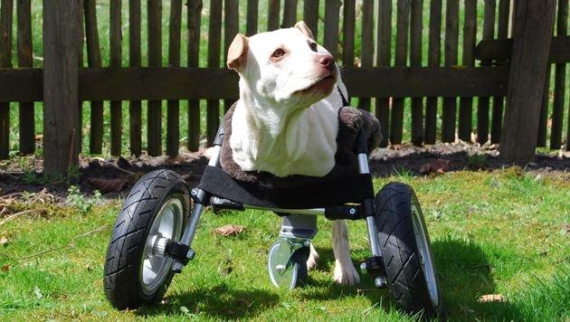 """Rollstuhl aus dem 3D-Drucker für Hündin """"Luisa"""" (Bild: Multec GmbH)"""