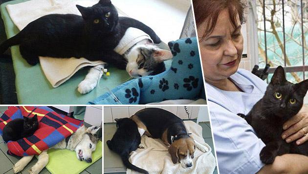 """Kater spielt """"Krankenpfleger"""" für andere Tiere (Bild: likemag.com)"""