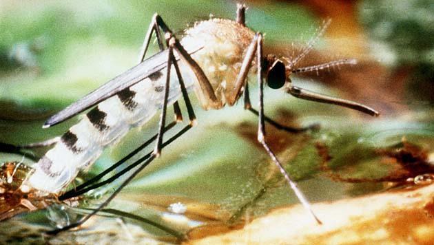 Eine Ägyptische Tigermücke (Aedes aegypti) (Bild: APA/dpa/Stephan Jansen)