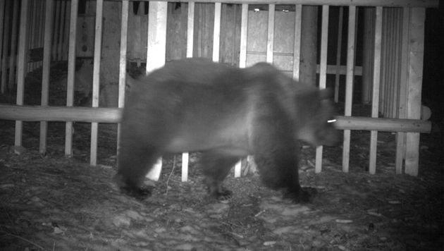 Braunbär am Kärntner Mittagskogel fotografiert (Bild: Wildkamera)