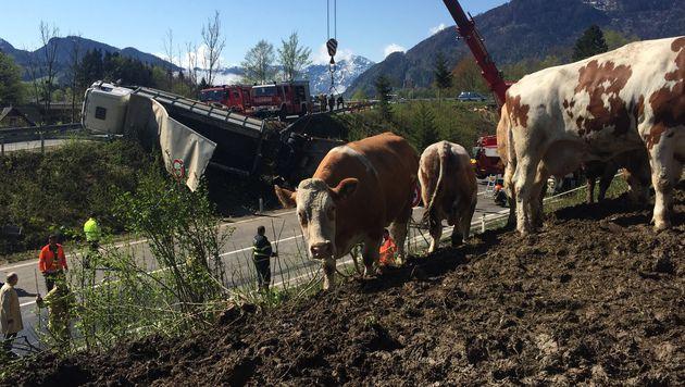 Sieben Kühe mussten notgeschlachtet werden. (Bild: Werner Kerschbaummayr)