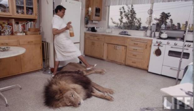 Die Löwen wurden ins Familienleben integriert. (Bild: Life Magazine)