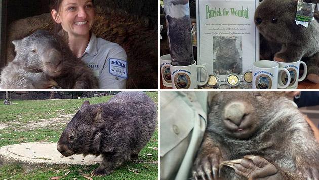 "Wombat ""Patrick"" verzückt australische Zoobesucher (Bild: facebook.com/PatricktheWombat)"