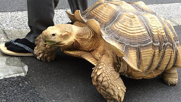 """Riesenschildkröte geht in Tokios Straßen """"Gassi"""" (Bild: Twitter.com)"""