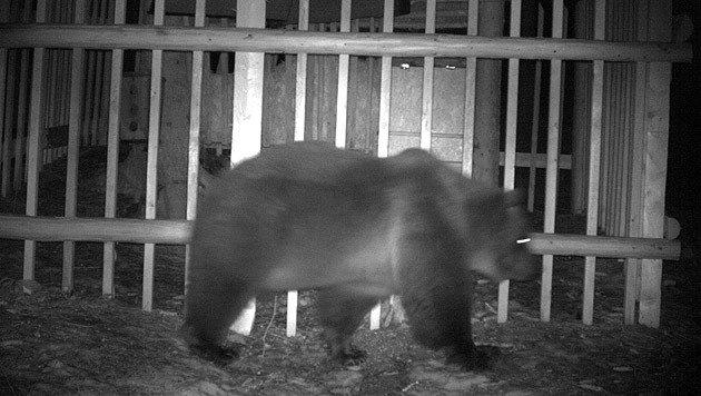 Ein anderer Bär tappte unlängst am Mittagskogel in die Fotofalle. (Bild: Wildkamera)